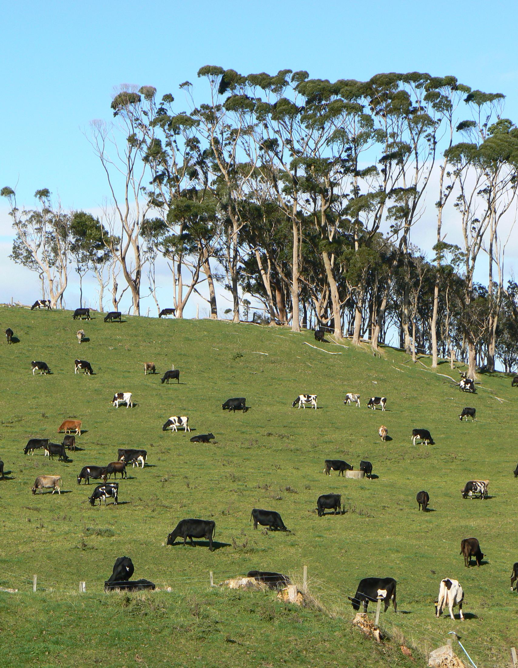 Las vacas son animales vertebrados, mamíferos y cuadrúpedos.
