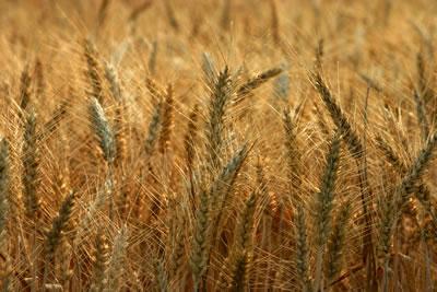 Tipos de cereales, trigo