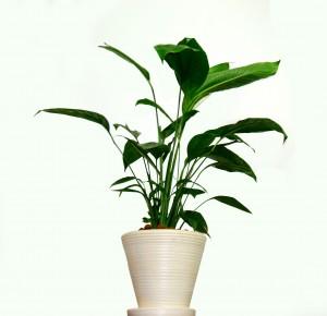 Planta de ornato en maceta