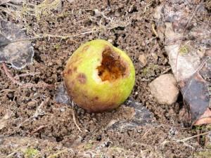 Los materiales de origen biológicos se degradan fácilmente, (en la imagen la acción de las bacterias en materia vegetal, putrefacción).