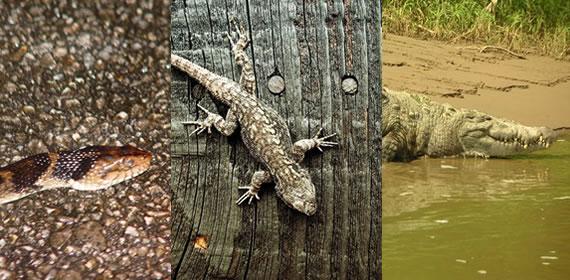 Ejemplos de reptiles, víbora, lagartija y cocodrilo.