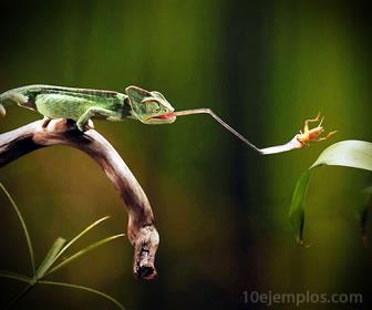 Camaleón comiendo insecto.