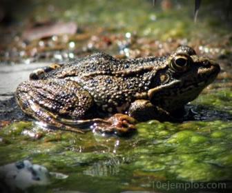 La rana un animal insectívoro